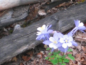 Forrest took these photos of our Colorado Columbine while riding down the trail from Ditch Camp at my request, especially for Al.